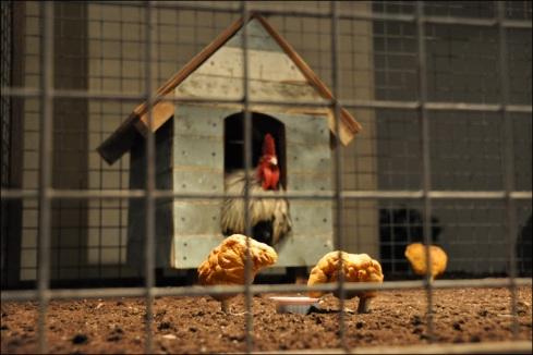 Nuggets ciscando pelo galinheiro